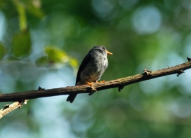 Yellow-footed Flycatcher