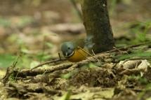 Swynnerton's Robin