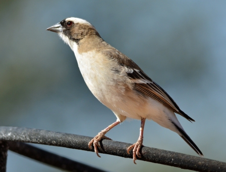 Whitebrowed Sparrow-Weaver