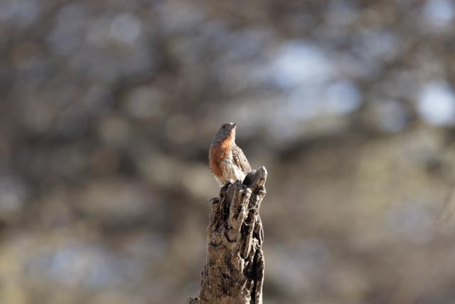Rufous-throated Wryneck