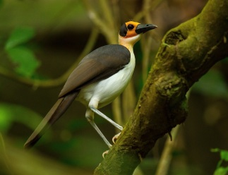 Yellow-headed Picathartes