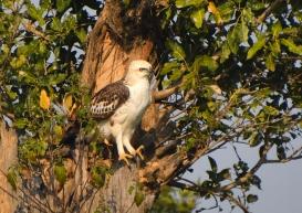 Changeable Hawk-Eagle (1)