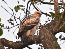 Changeable Hawk-Eagle (2)