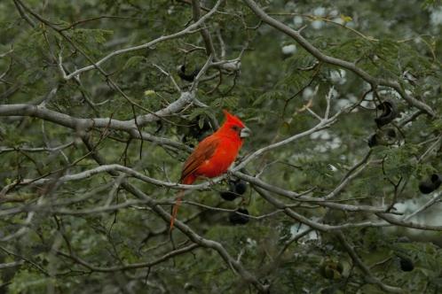 Vermilion Cardinal
