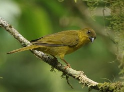 Olive-green Tanager (A Foster)