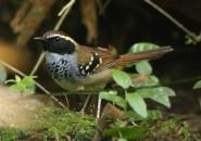 White-bibbed Antbird (A Foster)