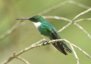 White-throated Hummingbird (A Foster)