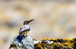 Andean Flicker