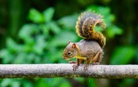 Bolivian Squirrel