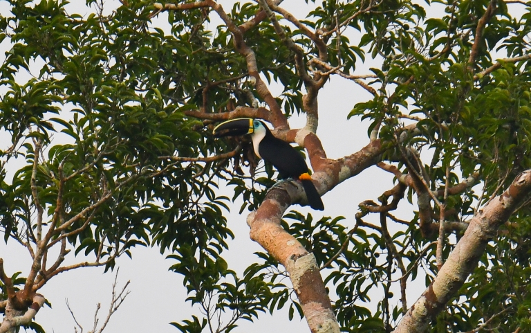 Channel-billed Toucan.jpg