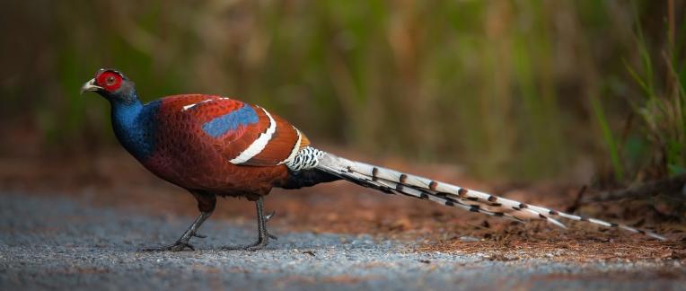 Mrs. Hume's Pheasant