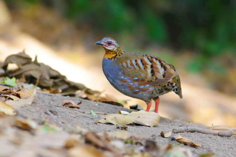 Rufous-throated Partridge,