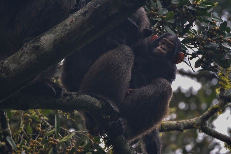 Chimpanzees. Kibale. 04.jpg