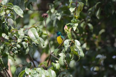 Collared Sunbird. Bwindi. Ruhija Sector._