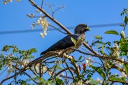Eastern Grey Plantain-eater 02