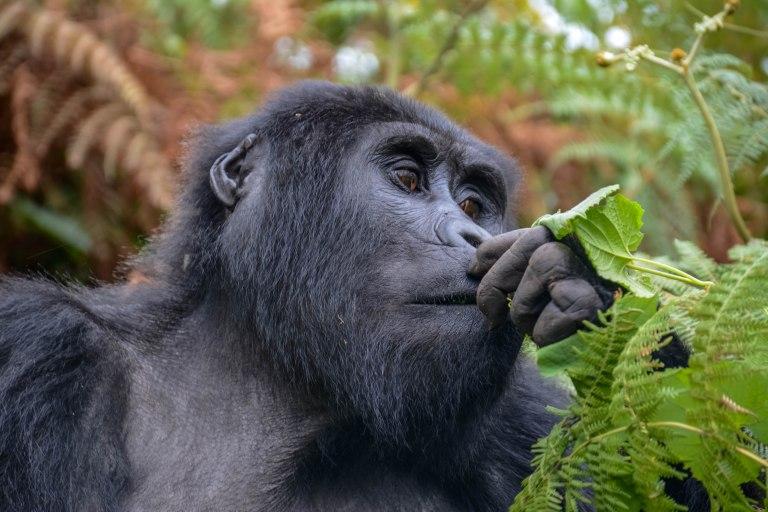 Gorillias  Bwindi. Ruhija Sector. 09.jpg