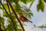 Grey-winged Robin-Chat. Bwindi. Buhoma Sector._