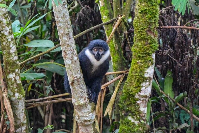 L'Hoest's Monkey. Bwindi. Buhoma Sector._
