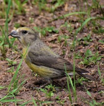 RED CROSSBILL--FEMALE